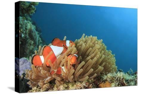 Clown Anemonefish in Anemone on Underwater Coral Reef-Rich Carey-Stretched Canvas Print
