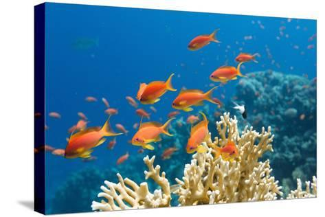 Coral and Fish in the Red Sea.Egypt-Irochka-Stretched Canvas Print