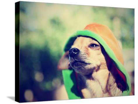 A Cute Chihuahua in a Hoodie-graphicphoto-Stretched Canvas Print
