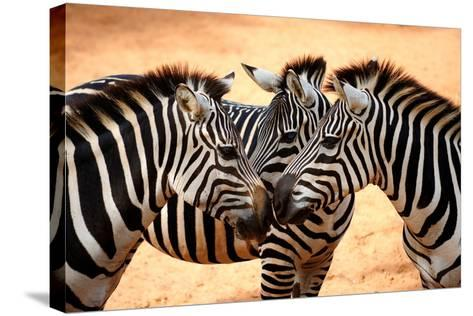 Three Zebras Kissing-worakit-Stretched Canvas Print