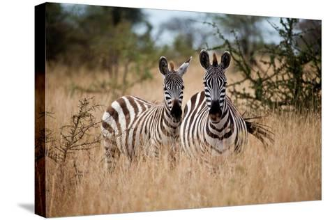 Zebras on the Savannah-Gary Tognoni-Stretched Canvas Print
