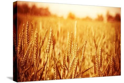 Golden Ripe Wheat Field, Sunny Day-Anna Omelchenko-Stretched Canvas Print