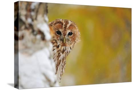 Courious Tawny Owl-Stanislav Duben-Stretched Canvas Print