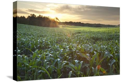 Field of Young Corn at Sunrise-DWStock-Stretched Canvas Print