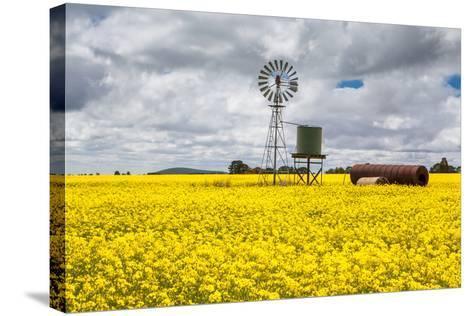 Canola Fields near Smeaton-FiledIMAGE-Stretched Canvas Print