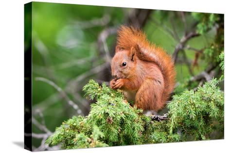 Red Squirrel Sitting in A Juniper Tree-stefanholm-Stretched Canvas Print