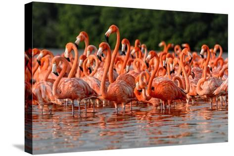 Flock of Greater Flamingos-zixian-Stretched Canvas Print