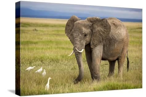 Elephant with Curved Tusks-dmussman-Stretched Canvas Print