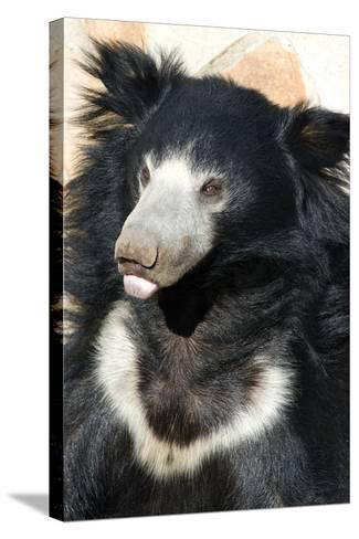 Indian Sloth Bear-Spaxia-Stretched Canvas Print