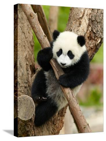 Giant Panda Baby over the Tree-silver-john-Stretched Canvas Print