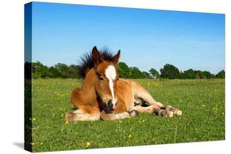 Cute Brown Foal Laying on Grass-andy lidstone-Stretched Canvas Print