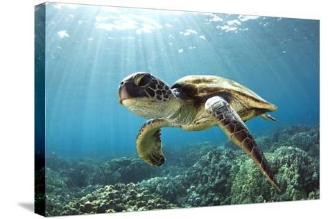 Hawaiian Green Sea Turtle-Swims with Fish-Stretched Canvas Print