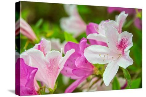 Spring Azaleas-Gary Tognoni-Stretched Canvas Print