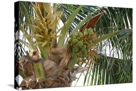 Baby Coconuts-lronczka-Stretched Canvas Print