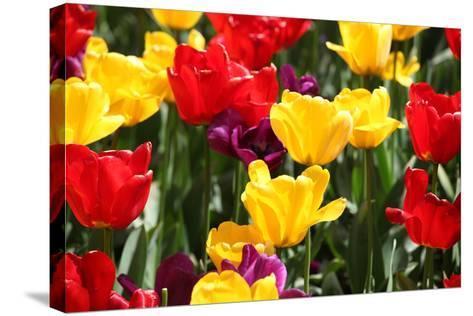Amsterdam Tulips.-oscarcwilliams-Stretched Canvas Print