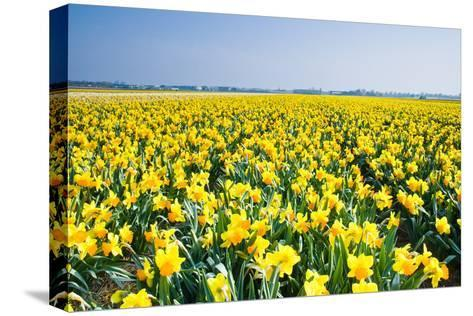 Field with Yellow Daffodils in April-Colette2-Stretched Canvas Print