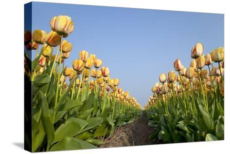 Dutch Tulip Fields in Springtime-picturepartners-Stretched Canvas Print