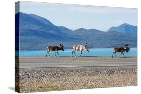 Raindeer in Norway-Andrushko Galyna-Stretched Canvas Print