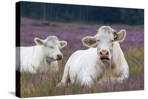 Resting Cow in Heather-Ivonnewierink-Stretched Canvas Print