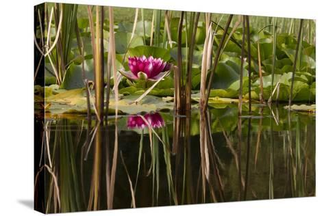 Water Lily in Pond-humbak-Stretched Canvas Print