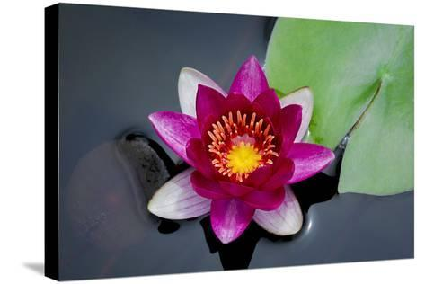 Water Lily-Michael Shake-Stretched Canvas Print