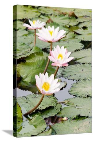 Water Lily (Lotus) and Leaf in Pond-chomnancoffee-Stretched Canvas Print