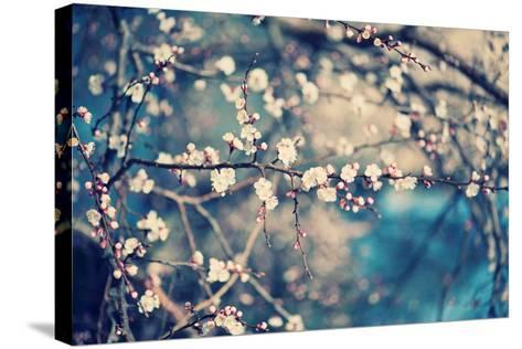 Apricot Tree Flower-Roxana_ro-Stretched Canvas Print
