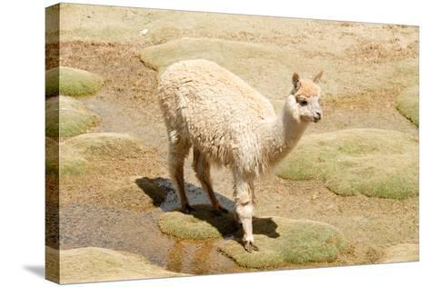 Llama in A Mountain Landscape, Peru-demerzel21-Stretched Canvas Print