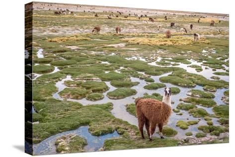 Llamas in the Mountains near Paso De Jama, Argentina-Chile-xura-Stretched Canvas Print