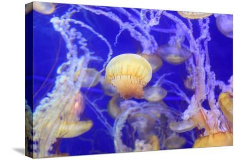Pacific Sea Nettle Jellyfish, Chrysaora Fuscescens-steffstarr-Stretched Canvas Print