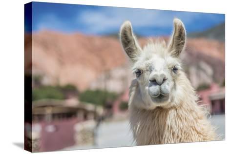 Llama in Purmamarca, Jujuy, Argentina.-Anibal Trejo-Stretched Canvas Print