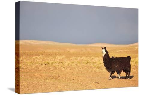 South American Llama-zanskar-Stretched Canvas Print