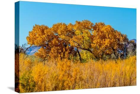 Beautiful Fall Foliage on Cottonwood Trees along the Rio Grande River in New Mexico.-Richard McMillin-Stretched Canvas Print