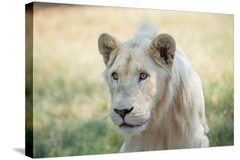 White Lion-mr anderson-Stretched Canvas Print