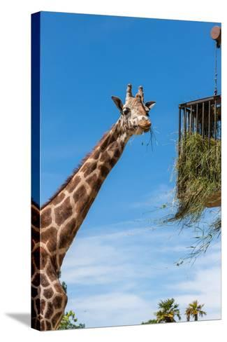 Giraffe Eating in Zoo on a Background of Blue Sky-master1305-Stretched Canvas Print