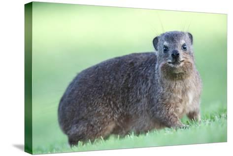 Cute Rock Hyrax Animal-Four Oaks-Stretched Canvas Print