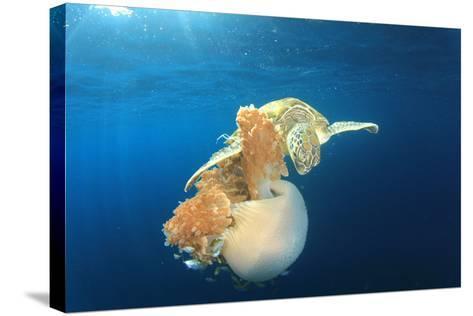Green Sea Turtle Feeds on Large Pelagic Jellyfish-Rich Carey-Stretched Canvas Print