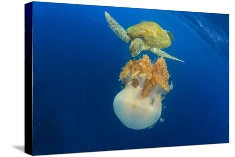 Green Sea Turtle Feeds on Large Pelagic Jellyfish-Rich Carey-Stretched Canvas Print