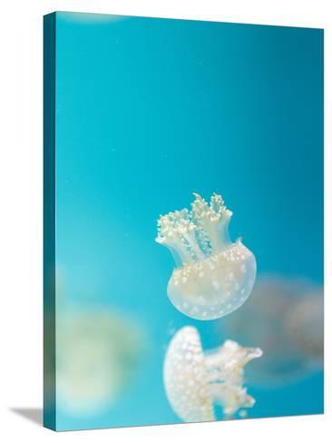 Spotted Lagoon Jelly, Golden Medusa-steffstarr-Stretched Canvas Print