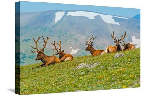 Gang of Elks in Colorado-duallogic-Stretched Canvas Print