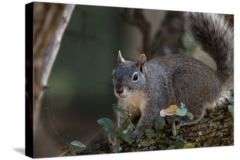 Silver - Gray Squirrel-wollertz-Stretched Canvas Print