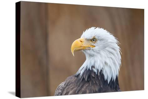 Portrait of a Bald Eagle-JHVEPhoto-Stretched Canvas Print