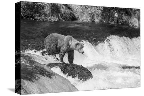 Brown Bear on Alaska-Andrushko Galyna-Stretched Canvas Print