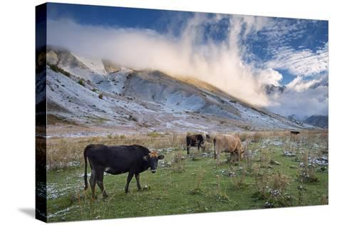 Herd of Cows in a Pasture in the Mountains. Autumn Landscape with the First Snow. Mountain Shkhara-Kotenko-Stretched Canvas Print
