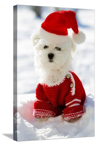 Christmas Puppy, Winter - Portrait of Maltese Puppy in Santa Hat Sitting in Snow-Gorilla-Stretched Canvas Print