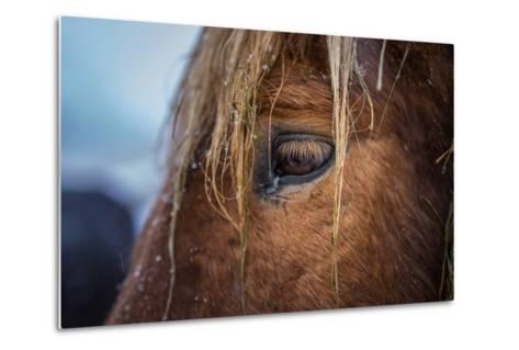 Portrait of Icelandic Horse, Iceland-Arctic-Images-Metal Print