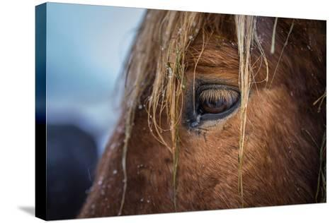 Portrait of Icelandic Horse, Iceland-Arctic-Images-Stretched Canvas Print