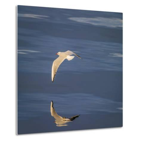 Seagull Flying over the Sea-Arctic-Images-Metal Print