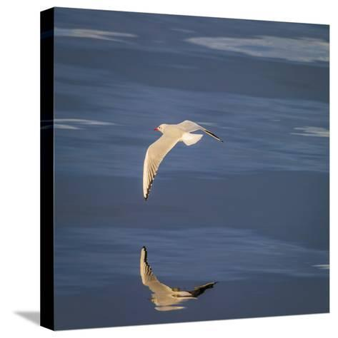 Seagull Flying over the Sea-Arctic-Images-Stretched Canvas Print