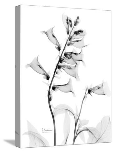 Foxglove Gray-Albert Koetsier-Stretched Canvas Print